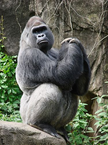 Male Silverback Gorilla at the Cincinnati Zoo by Paula~Koala, via Flickr