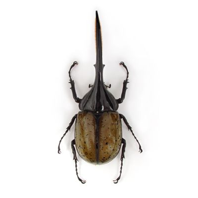 Dynastes hercules - Hercules Beetle $389 (unframed) from The Evolution Store