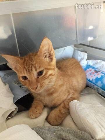 Junge Busi Katzen Abzugeben In Aargau Kaufen Tutti Ch Mit