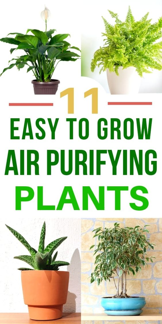 Did you know that plants can clean your air? It's true! There are actually many indoor plants that clean the air and remove toxins. Here are 11 of the Best Air Purifying Plants that you can grow indoors--easily! #airpurifying