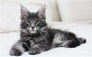 I have always wanted a Maine Coon Kitten.