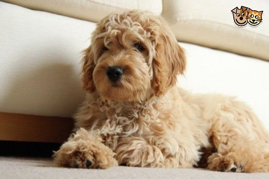 Due To Change In Someones Circumstances She Will Look Just Like The One In The Profile Picture When Fully Grown As Thi Cockapoo Dog Cockapoo Puppies Cute Dogs