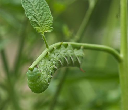 How do i get rid of caterpillars from my vegetable patch?
