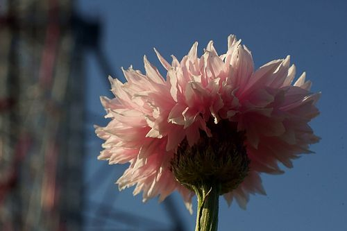 greater knapweed - やぐるまぎく