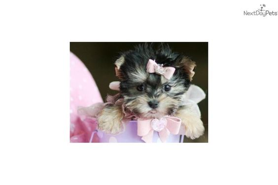 Super Tiny Puppies For Sale Teacup Puppies And Puppies For Sale