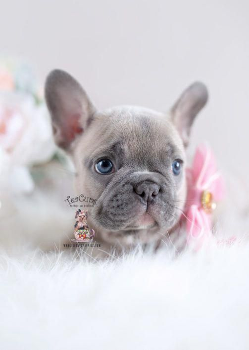 They Re Actually Everywhere Most Likely Because They Are 2 Of The Most Popular Pet Breeds In Americ In 2020 Bulldog Puppies French Bulldog Puppies Cute French Bulldog
