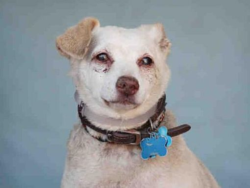 Pictures Of Skippy A Chihuahua For Adoption In Downey Ca Who Needs A Loving Home Dog Adoption Pets Chihuahua