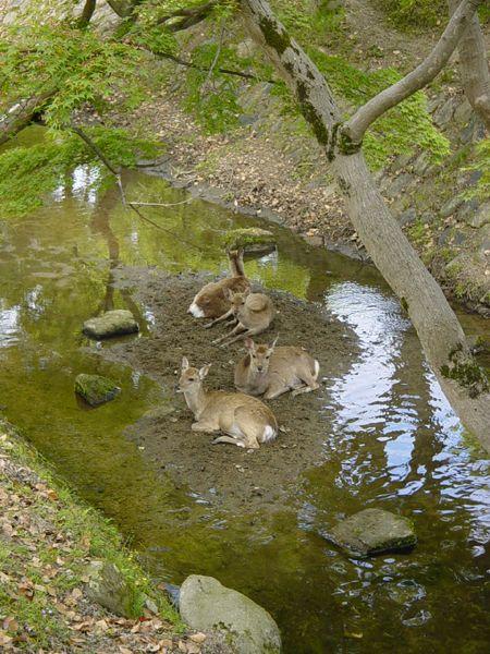 Nara Deer group
