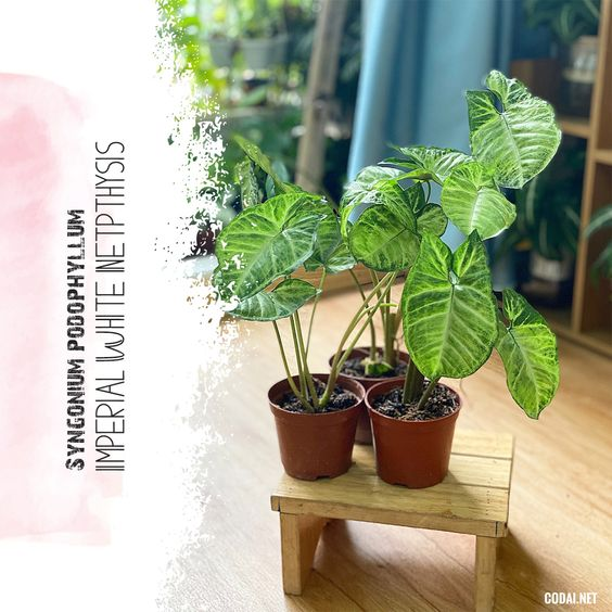 Chậu cây Syngonium podophyllum Imperial White Nephthytis