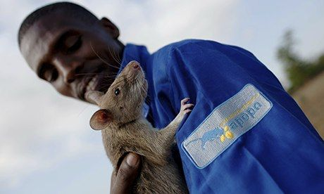 Giant rats put noses to work on Mozambique's landmines Landmine-detecting rats weigh as much as a domestic cat and are light enough to cross terrain without triggering explosives