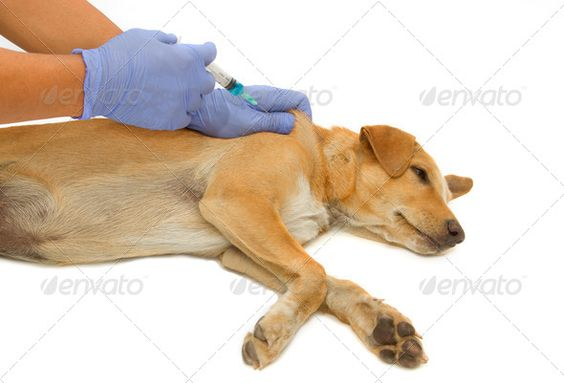 Vet giving injection the dog ...  Vaccination, animal, assistant, breed, canine, care, checkup, dog, domestic, domestic animal, examination, healthcare, healthcare and medicine, injecting, injection, mammal, pedigreed, pet, puppy, syringe, treatment, vaccine, vet, veterinarian, veterinary, veterinary clinic