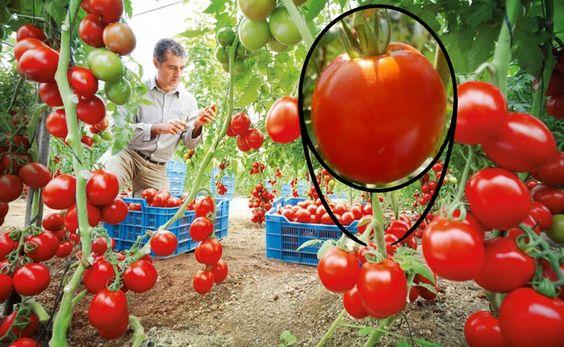 Truco para regenerar tomates y no volver a comprarlos jamás | Plantas
