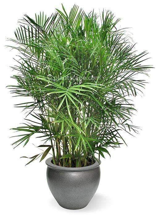 نخيل شمادوريا Chamaedorea Sp العائلة Arecaceae الفصيلة النخيلية موطنه الأصلى المكسيك وغواتيمالا وهو Bamboo Garden Indoor Bamboo Lucky Bamboo Plants