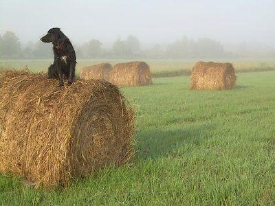 Black dog on hay