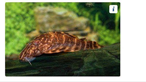 Clown Pleco Plecos Are Well Known Algae Eaters That Originated In The Rivers Of The Amazon Jungle In South America Tropical Aquarium Aquarium Fish Plecostomus