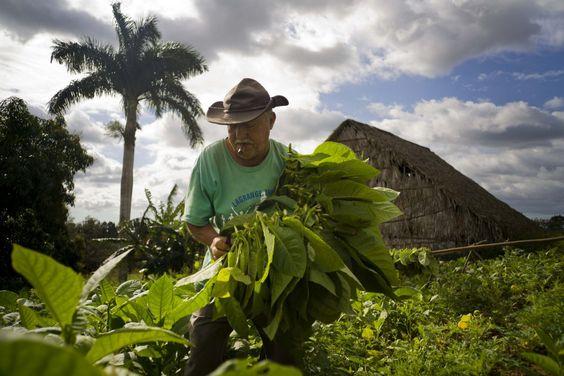 http://www.bancobietvn.com/2016/03/tham-trang-trai-trong-cay-thuoc-la-va-san-xuat-xi-ga-cu-ba.html Thăm trang trại trồng cây thuốc lá và sản xuất xì gà Cuba