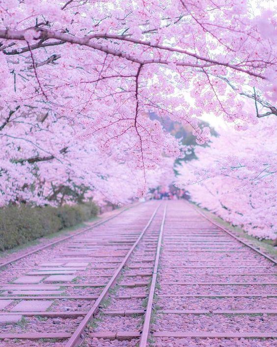 京都の桜の日本の景色の壁紙