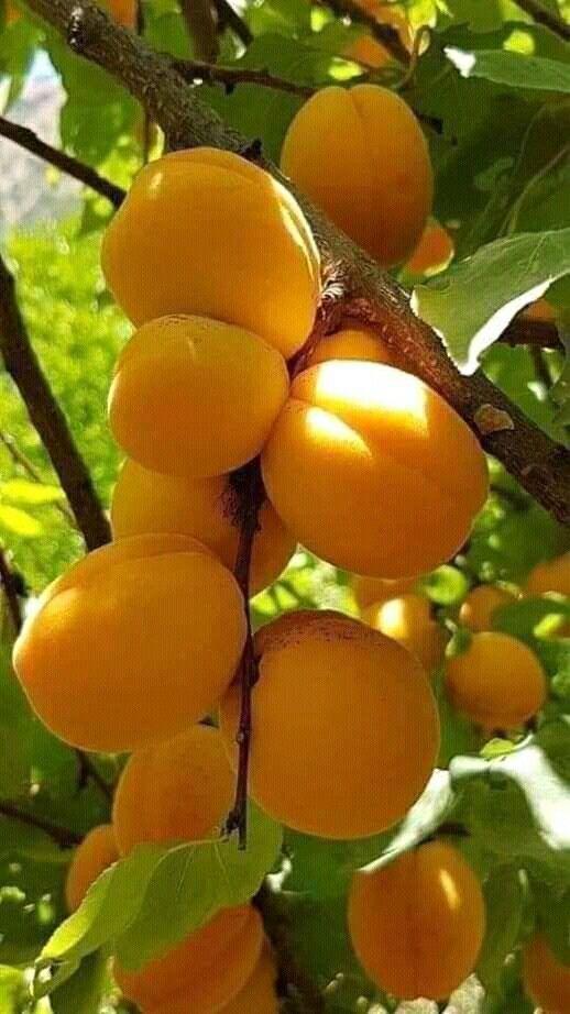 Pin By آزل الملاذ On كل ما لذ وطاب Fruit Apricot Plum