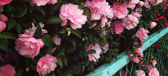 Camellias illuminate my garden from winter to spring. I have several varieties of large, bushycamellia japonica shrubs growing near my carport and t
