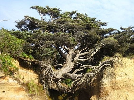 "sixpenceee: ""The Tree of Life in Kalaloch, WashingtonThere is an extraordinary tree in Kalaloch beach, within Olympic National Park in Washington, that some people call ""the tree of life"" because of..."