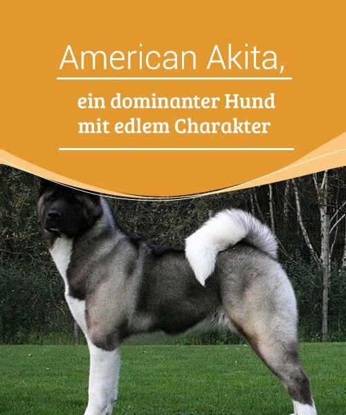 American Akita Ein Dominanter Hund Mit Edlem Charakter Akita