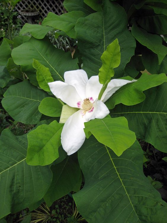 big leaf magnolia