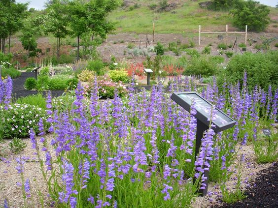 Rocky Mountain Penstemon (Penstemon strictus) Non-resinous, drought tolerant, perennial