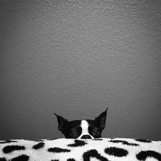 My Goosey can always tell when I'm having a bad day. She sticks to me like glue. Follows me everywhere. And the second I think she's left the room I turn around and there she is keeping an eye on me. I  hers. #Creepin  #bostonterrier#ilovebostonterriers#bosties#bostonterriersofinstagram#bostonterriers#dogsofinstagram#ilovedogs#doglover#flatnosesociety#squishyface#blackandwhite#instapic#picoftheday#instagood#petselfie#cute by louieandgoosey