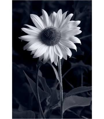 Poster: Gadomski's Sunflower in Black & White, 20x16in.