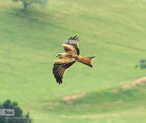 Rotmilan / Red Kite by tanjabeutler