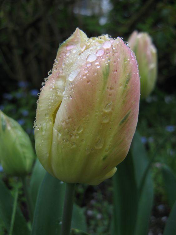 Regentropfen auf Tulpe