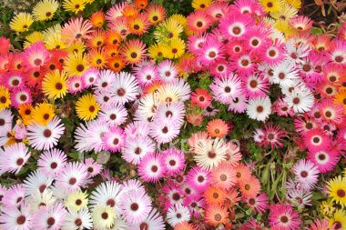 Livingstone Daisy: Garden Ideas, 3/4 Beds, Flowers Plants, Sayings Spaces, Africa Wildflowers, Flower Beds, Nature Flowers Gardening