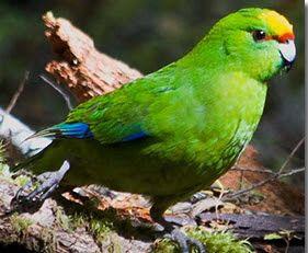 Malherbe's parakeet [orange-fronted parakeet] (CR)
