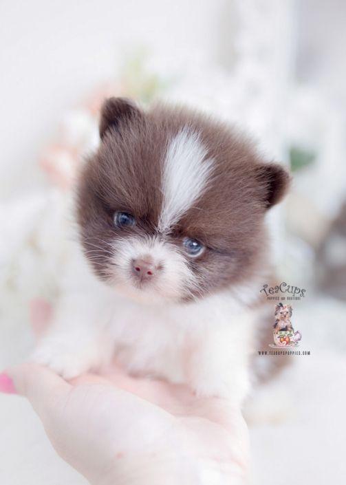 Pin On Pomeranian Puppy Teacup