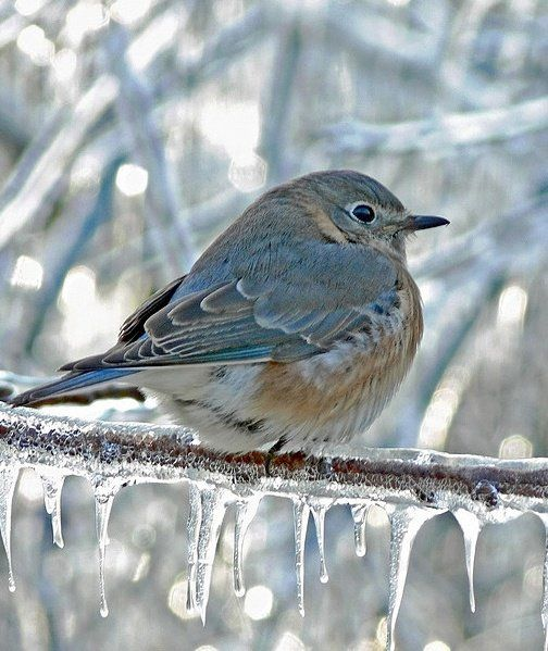 adorable round blue winter bird on branch with icicles on Hello Lovely Studio #winterwonderland