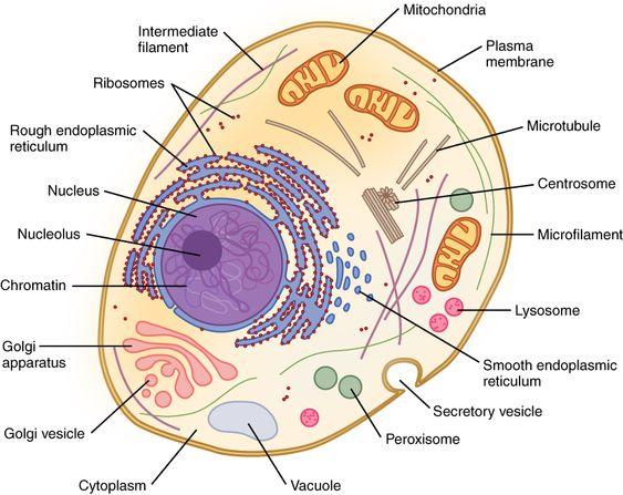 Human epithelial cells cytoplasm