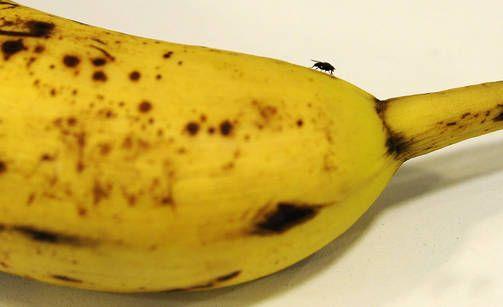 Banaanikärpäset ovat jokaiselle tuttu riesa.