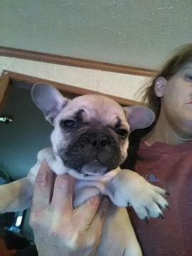 Litter Of 6 French Bulldog Puppies For Sale In Augusta Ky Adn