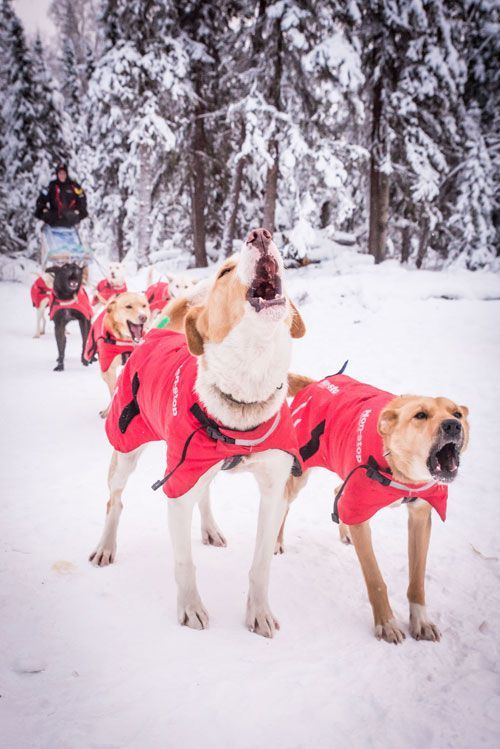 Training Sled Dogs For The Yukon Quest And Iditarod Dogs