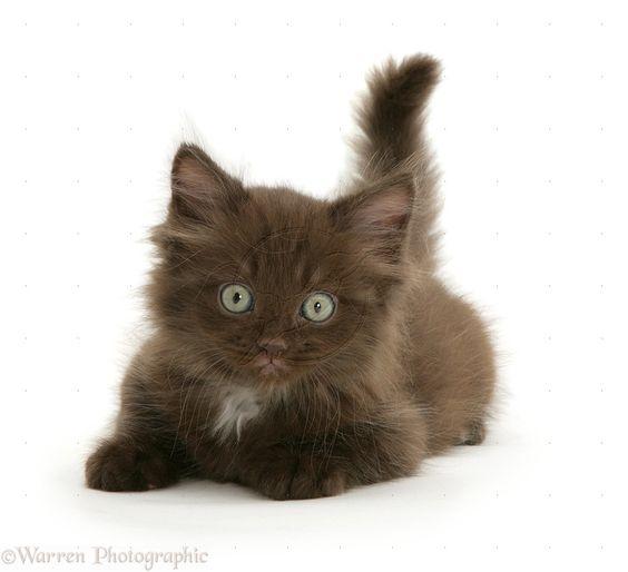 Fluffy Kittens | WP11187 Chocolate fluffy kitten.