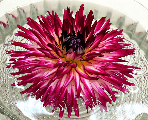 Dahlia, Brookside Gardens,Dahlia Show IMG_7356  Photograph by Roy Kelley using a Canon PowerShot G11 camera.  Roy and Dolores Kelley Photographs
