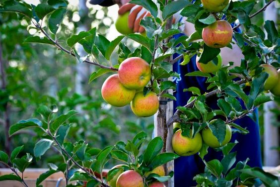 Growing espalier fruit trees in the home garden is a wonderful way to grow edibles in small spaces and in decorative ways.