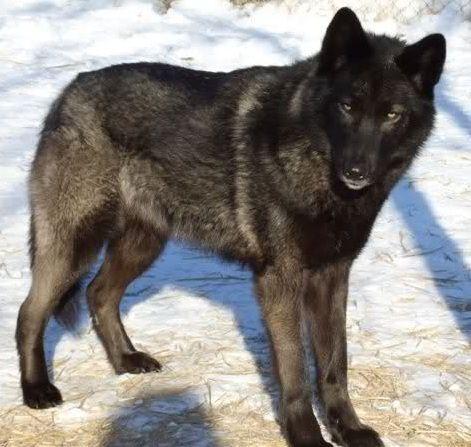 black wolves wallpaper - Google Search | wolves ...