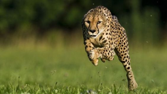 11-year-old cheetah breaks land speed record