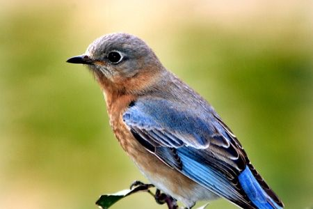 How you can do your part to protect the natural habitat of the bluebird.
