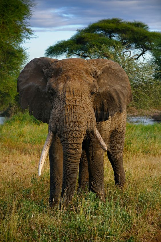 Elephant - Tarangire National Park, Tanzania   - Explore the World with Travel Nerd Nici, one Country at a Time. http://travelnerdnici.com