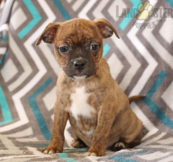 Holly Boston Terrier Mix Puppy For Sale In East Earl Pa Lancaster Puppies In 2020 Puppies For Sale Terrier Mix Lancaster Puppies
