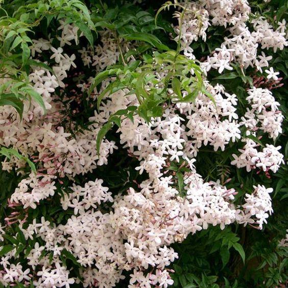 Jasmin - Jasminum polyanthum
