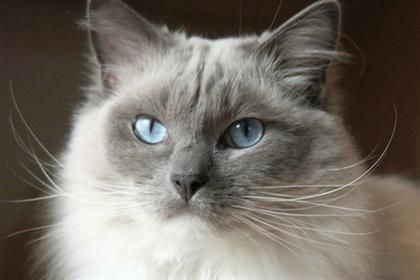 Ragdoll breed