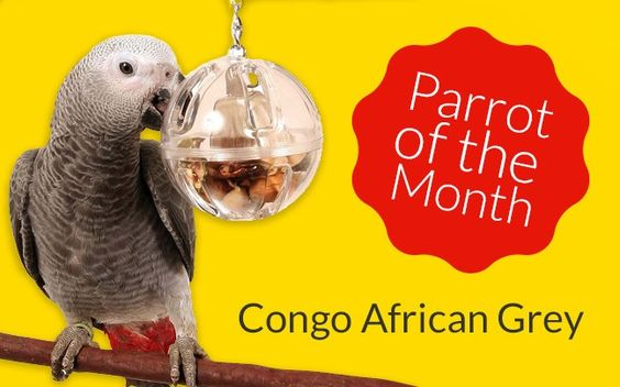 Slightly later than planned here is our Parrot Profile from last month. Congo African Greys are extremely intelligent birds. One of the most famous Congo African Greys is the now – deceased Alex, a Congo African Grey studied for years by Dr. Irene Pepperberg in the USA. Alex had been shown to have the ability to process information and make appropriate choices with the correct choice of words, and understand concepts such as colour or shape. Alex was thirty-one years old when he died...